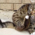gatto-che-si-gratta