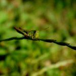grillo-insetto