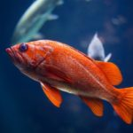 pesce-rosso-acquario