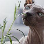 gatto-sphynx