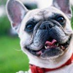 bulldog-francese-