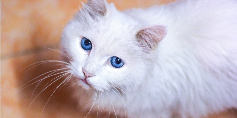 Gatti bianchi, quando la sordità è genetica