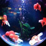 Pesci-rossi-ampolla