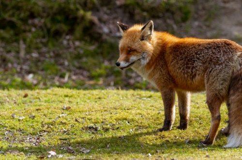 Cimurro cane: nessun allarmismo dopo l'incremento di casi nelle volpi in Friuli Venezia Giulia thumb