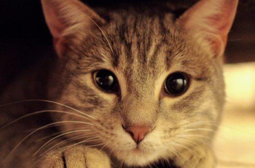 Cistite gatto, cos'è e come si cura thumb