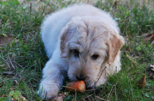 Scopriamo quali verdure possono mangiare i cani thumb