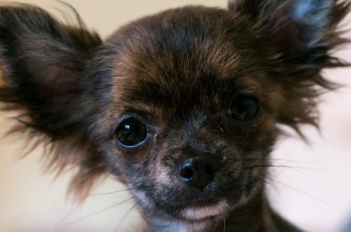 Cosa mangiano i cani piccoli? La lista delle migliori crocchette per cani mini e toy thumb