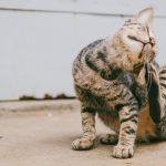 dermatite del gatto