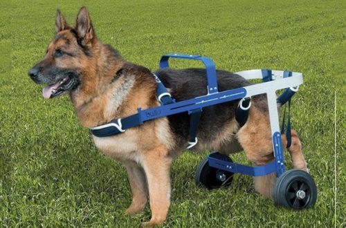 Displasia Anca del Cane: Come Curarla thumb