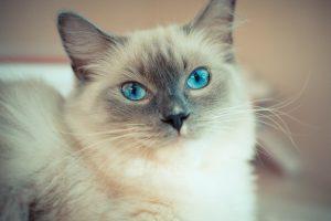 un gatto ragdoll con occhi azzurri