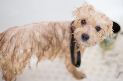 Lavare il cane e applicare l'antiparassitario: come procedere nel modo corretto thumb