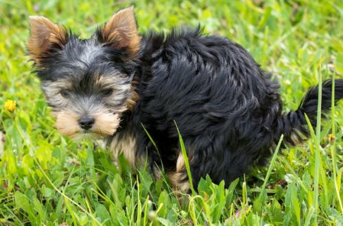 Come insegnare al cane a fare i bisogni fuori di casa thumb