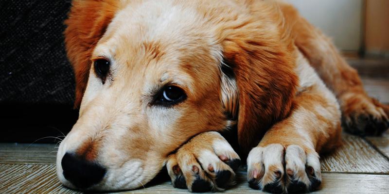 Cosa fare se il cane non smette di tossire cover