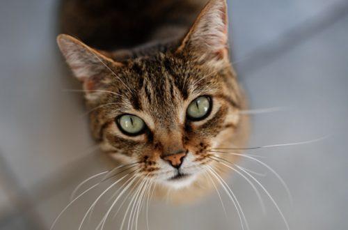 Cristalli nelle urine del gatto: come trattarli e come prevenirli thumb