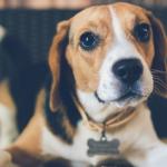 cane beagle con allergie e intolleranze alimentari