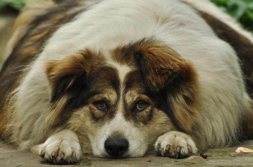 Cane in sovrappeso: quali sono le conseguenze e come farlo dimagrire thumb