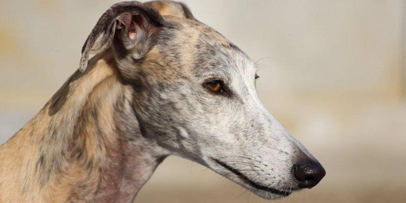 Quando i cani ci insegnano l'empatia: una storia che nasce dalle perreras spagnole cover