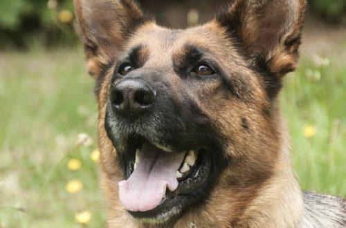 Cani da fiuto contro il Coronavirus: in Inghilterra l'addestramento della prima squadra al mondo thumb