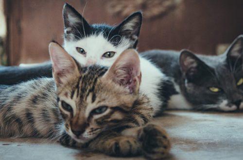 I gatti si ammalano di coronavirus dall'uomo e se lo trasmettono tra loro thumb