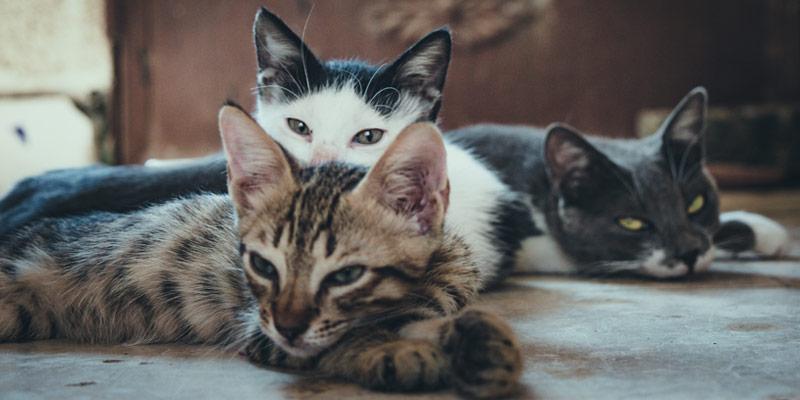 I gatti si ammalano di coronavirus dall'uomo e se lo trasmettono tra loro cover