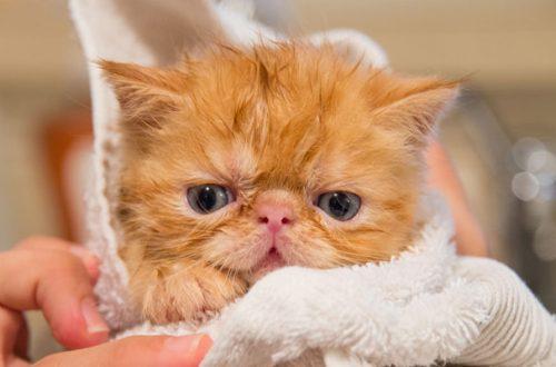 Fare il bagno al gatto è possibile? Sì, ma non sempre è utile thumb