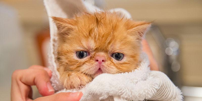 Fare il bagno al gatto è possibile? Sì, ma non sempre è utile cover