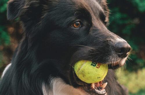 Perché le palline da tennis sono pericolose se utilizzate come gioco per cani? thumb