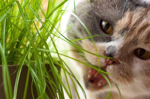 Catnip, matatabi e valeriana: caratteristiche e differenze di queste erbe per gatti thumb
